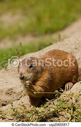 Marmot - csp20655817