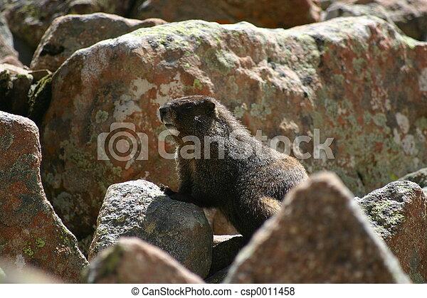 Marmot - csp0011458