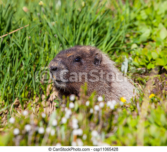 Marmot - csp11065428