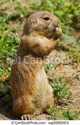 Marmot - csp20655424
