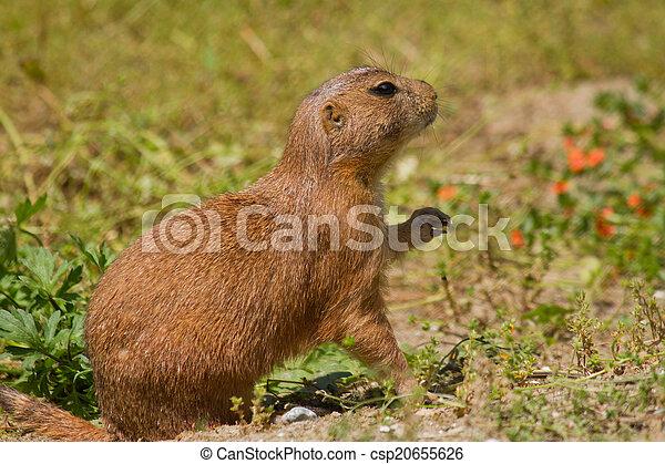 Marmot - csp20655626
