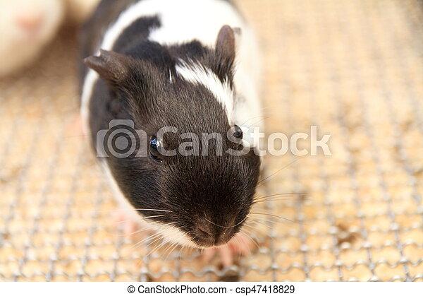 marmot - csp47418829