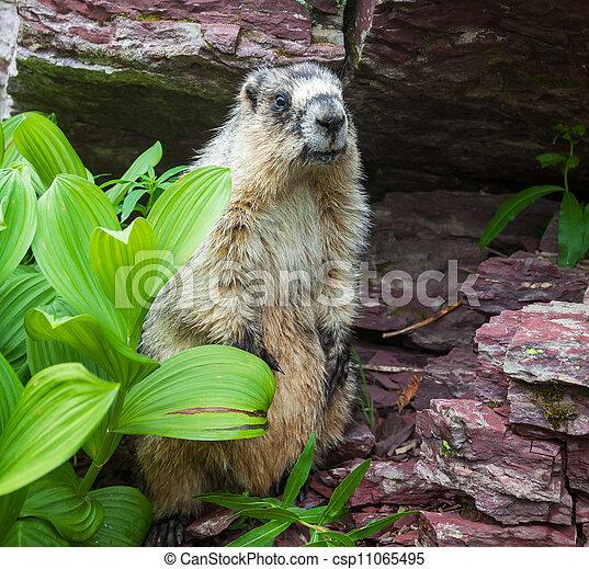 Marmot - csp11065495