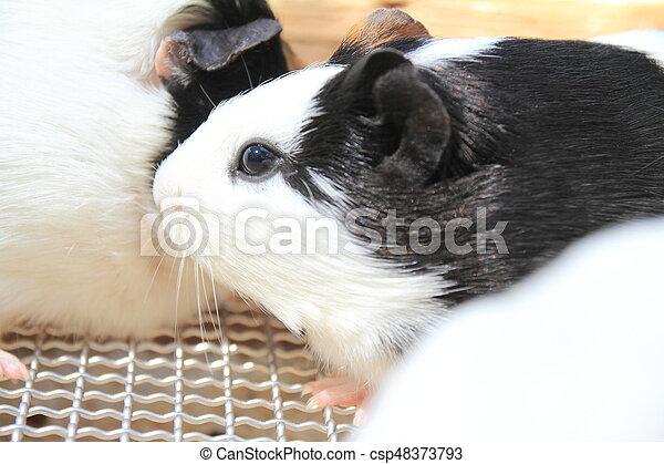 marmot - csp48373793