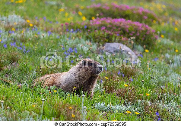 Marmot - csp72359595