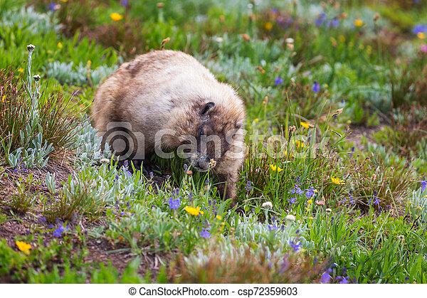 Marmot - csp72359603