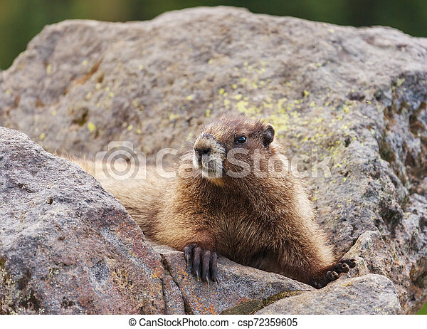 Marmot - csp72359605