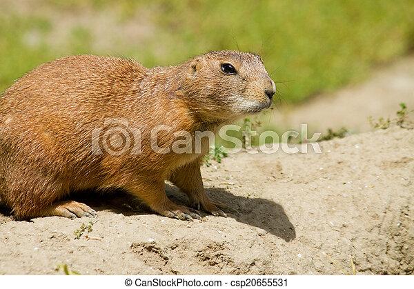 Marmot - csp20655531