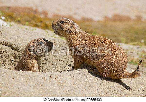 Marmots - csp20655433