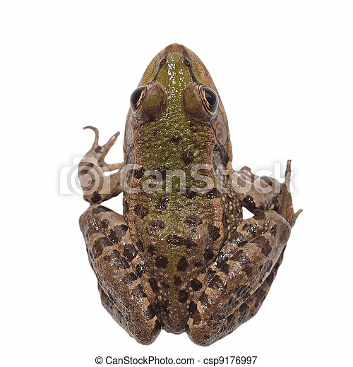 Marsh Frog isolated on white - csp9176997