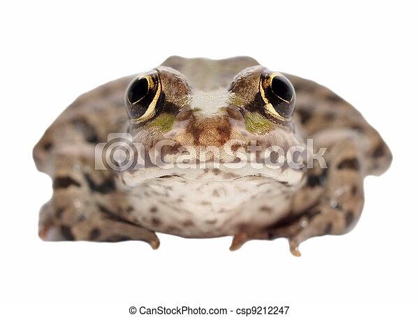 Marsh Frog isolated on white - csp9212247