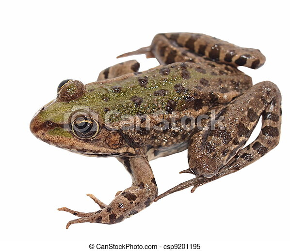 Marsh Frog isolated on white - csp9201195