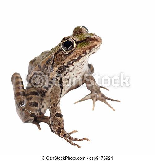 Marsh Frog isolated on white - csp9175924