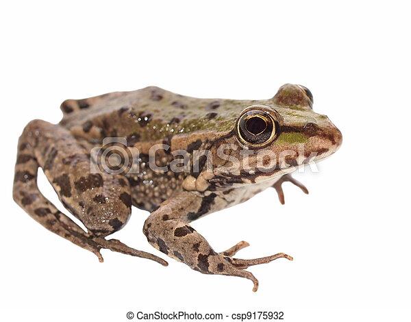 Marsh Frog isolated on white - csp9175932