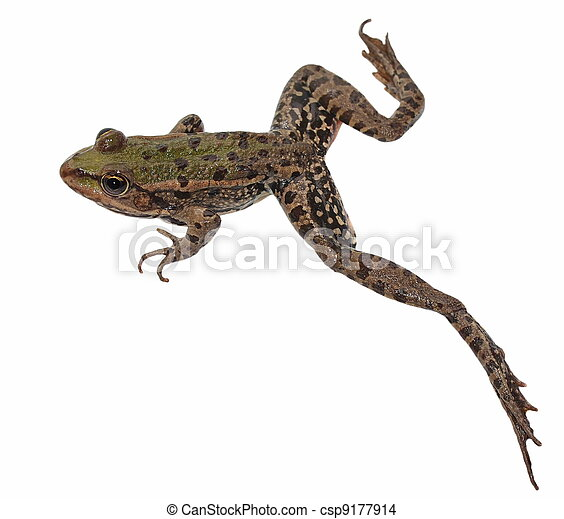 Marsh Frog isolated on white - csp9177914