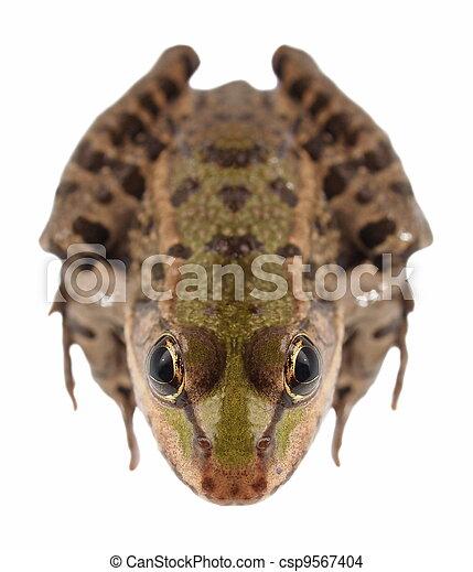 Marsh Frog isolated on white - csp9567404