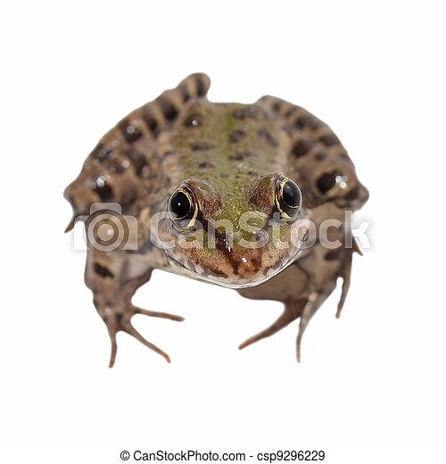 Marsh Frog isolated on white - csp9296229