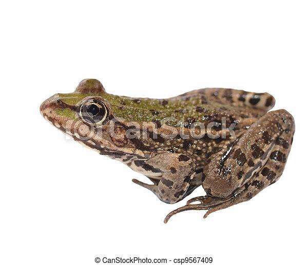 Marsh Frog isolated on white - csp9567409