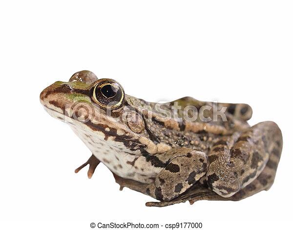 Marsh Frog isolated on white - csp9177000