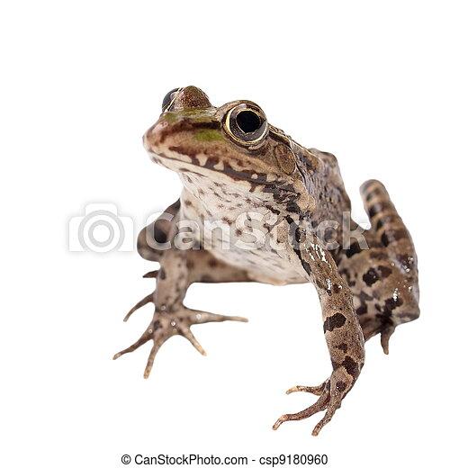 Marsh Frog isolated on white - csp9180960