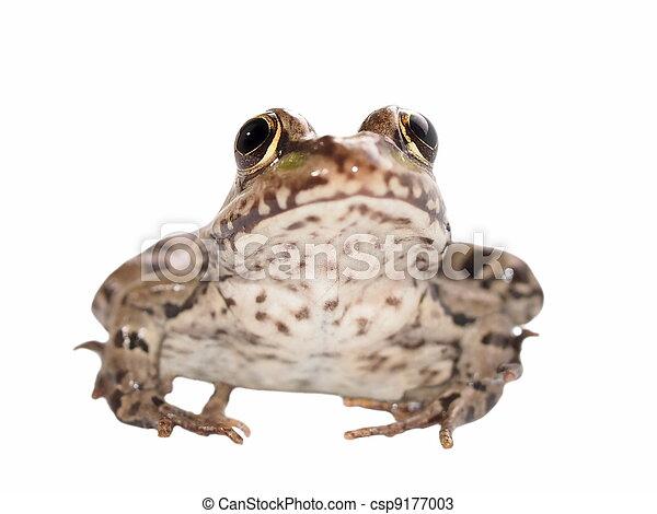 Marsh Frog isolated on white - csp9177003