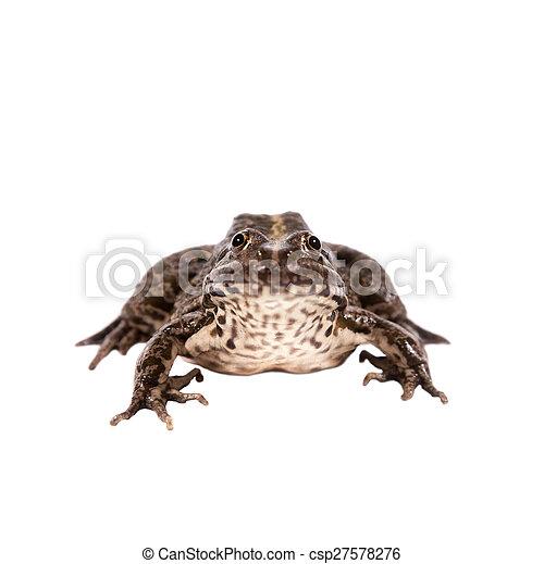 Marsh Frog on white, Pelophylax ridibundus - csp27578276