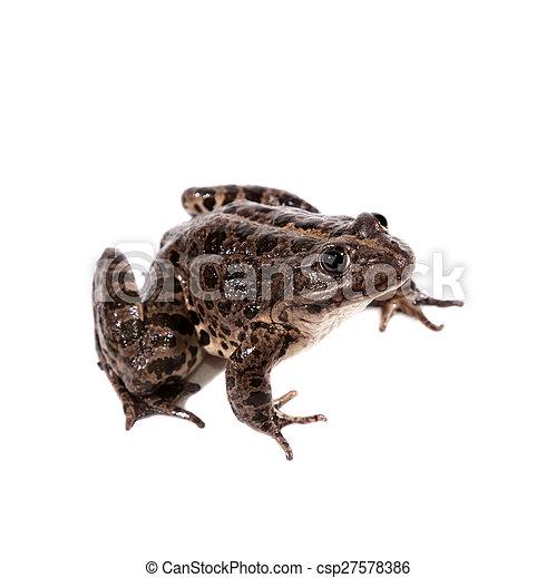 Marsh Frog on white, Pelophylax ridibundus - csp27578386
