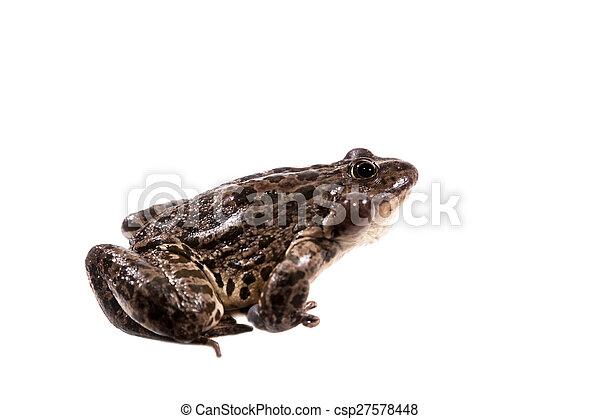 Marsh Frog on white, Pelophylax ridibundus - csp27578448