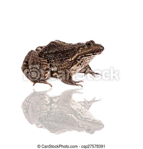 Marsh Frog on white, Pelophylax ridibundus - csp27578391