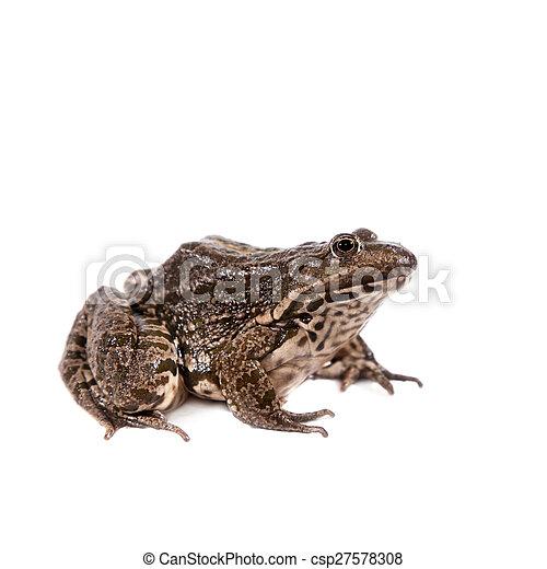 Marsh Frog on white, Pelophylax ridibundus - csp27578308