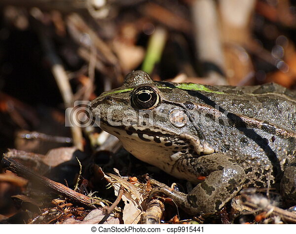Marsh Frog, Pelophylax ridibundus - csp9915441