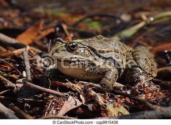 Marsh Frog, Pelophylax ridibundus - csp9915436
