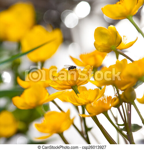 marsh marigold flowers with a fly - csp26013927