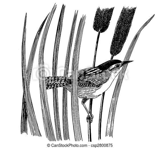 Marsh Wren - csp2800875