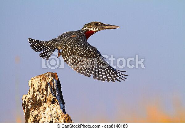 Kingfisher gigante - csp8140183