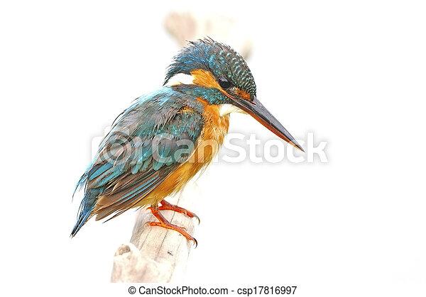 martin-pêcheur, commun, femme - csp17816997