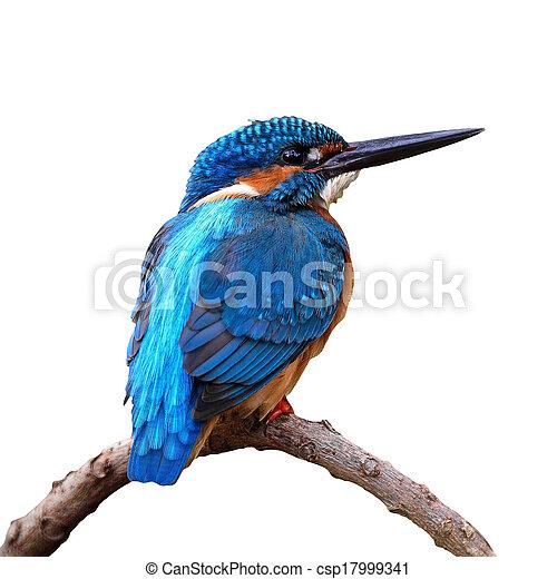 martin-pêcheur, mâle, commun - csp17999341