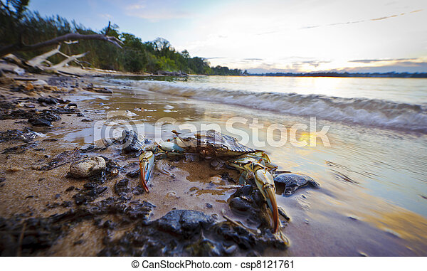 Maryland Blue Crab at sunset on the Chesapeake Bay - csp8121761