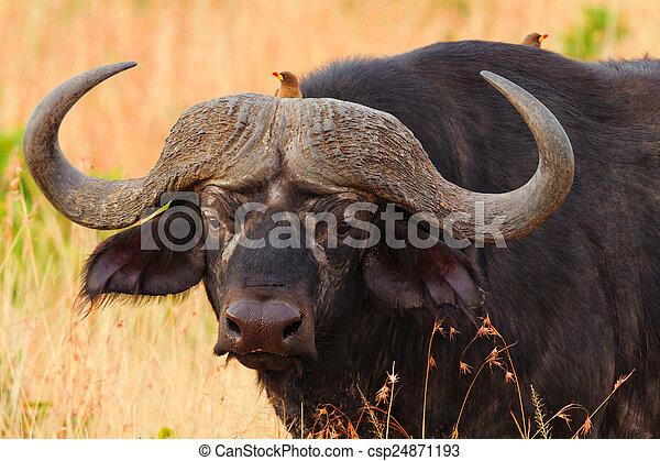 masai, büffel, mara - csp24871193