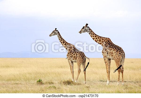 masai mara, giraffen - csp21473170