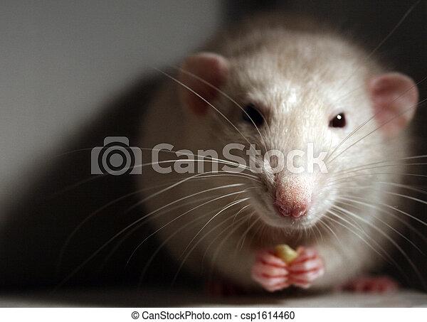 Rata mascota - csp1614460