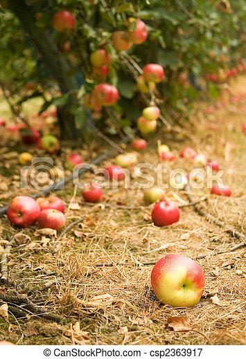 Apple tree mature time