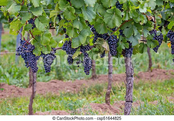 Mature grapes in autumntime in Austria, Burgenland - csp51644825
