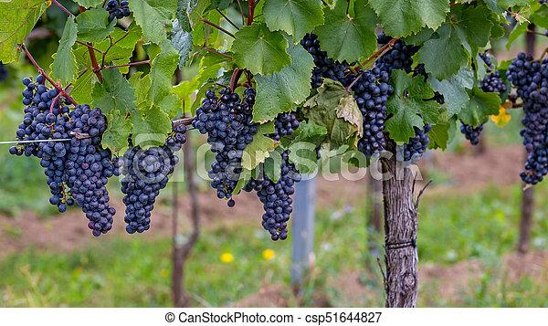 Mature grapes in autumntime in Austria, Burgenland - csp51644827