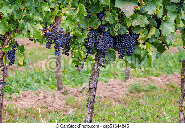 Mature grapes in autumntime in Austria, Burgenland - csp51644845