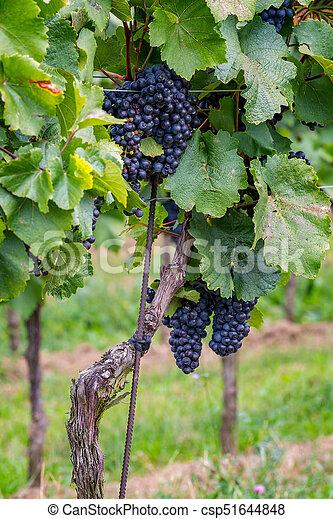 Mature grapes in autumntime in Austria, Burgenland - csp51644848
