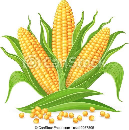 ma u00edz  aislado  mazorcas corncobs  eps10  illustration corn on the cob clip art black and white corn on the cob clip art free