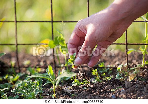 mauvaises herbes, main, enlever - csp20555710