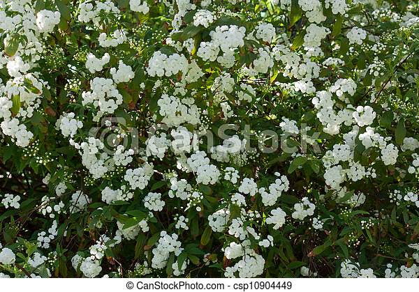 May bush covered in white flowers white may bush flowers stock may bush covered in white flowers csp10904449 mightylinksfo Choice Image