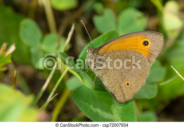 Meadow brown butterfly having rest on a leaf in shadows of summer herbs - csp72007934